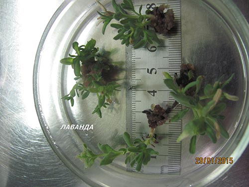 Microcloning of plants - lavender