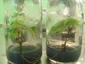 Microcloning of plants - currant